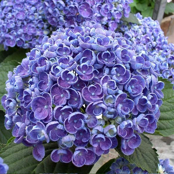 876 best images about hydrangeas on pinterest. Black Bedroom Furniture Sets. Home Design Ideas