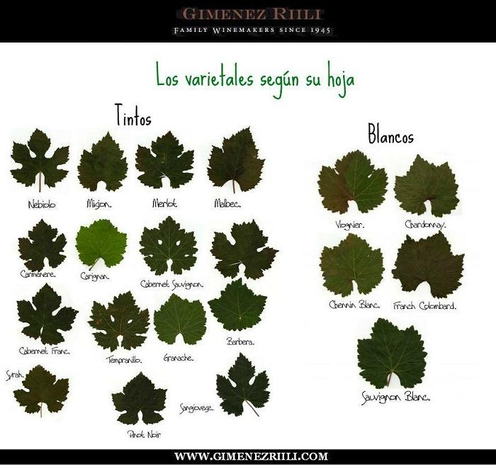 Las variedades de #uva según su hoja #vino