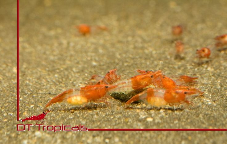 Red Rili Shrimp (Neocaridina Davidi)