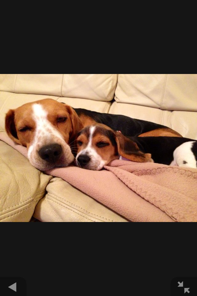 Cuddling Beagles :)