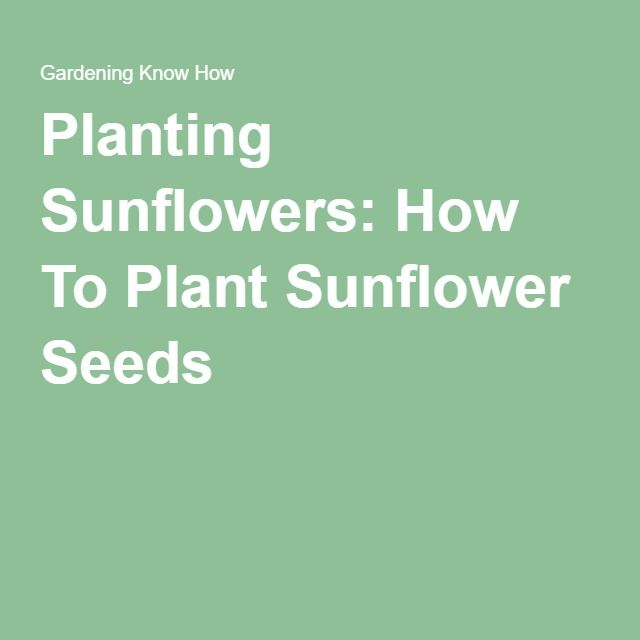 Planting Sunflowers: How To Plant Sunflower Seeds