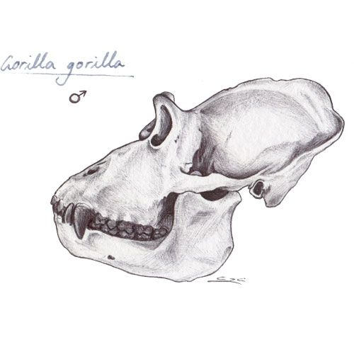Illustration of a gorilla skull I made to help me study for my primatology lectures.