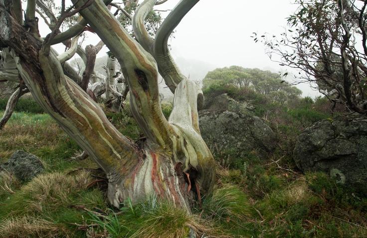 Snowgum, Mt Kosciuszko National Park, Australia.