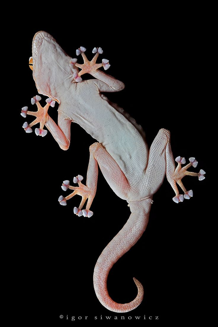 351 best lizards chameleons gecko u0027s u0026 iguana u0027s images on
