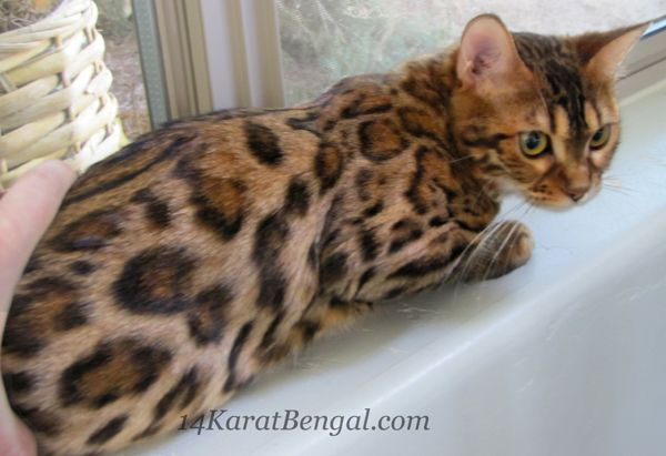 4karat Bengal Kitten Kashamii Owned By Don Ladonna Phoenix Az Bengal Kitten Bengal Cat For Sale Kittens