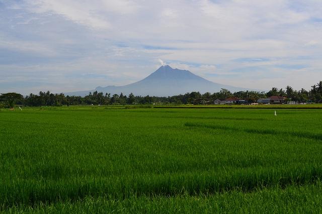 Beautiful paddy field with Mount Merapi in the background, Yogyakarta, Indonesia