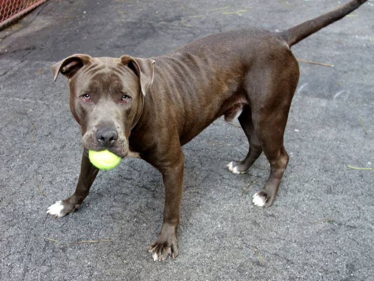 SAFE 8/16/14 Manhattan Center -P  My name is LION. My Animal ID # is A1009072. I am a male brown and white pit bull mix. The shelter thinks I am about 4 YEARS old.  I came in the shelter as a STRAY on 08/02/2014 from NY 11378, owner surrender reason stated was STRAY.   https://www.facebook.com/Urgentdeathrowdogs/photos/a.611290788883804.1073741851.152876678058553/852084751471072/?type=1