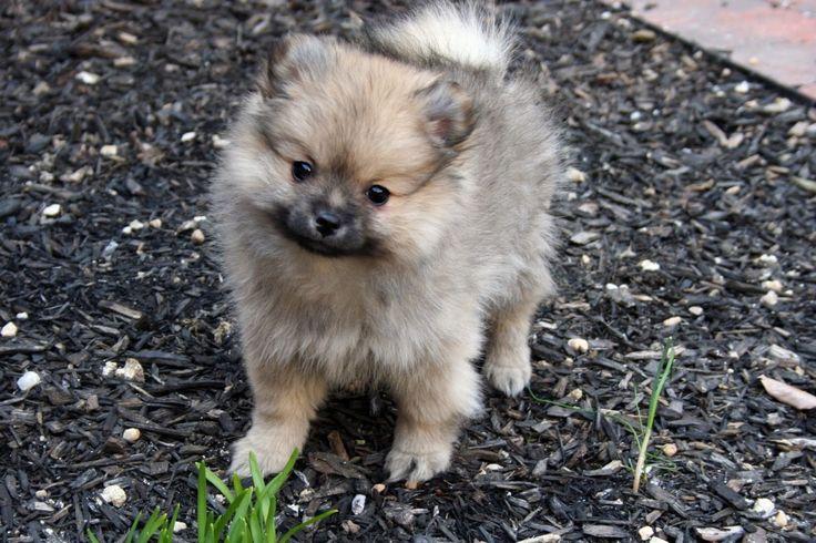 Keeshond Pomeranian Mix Puppies