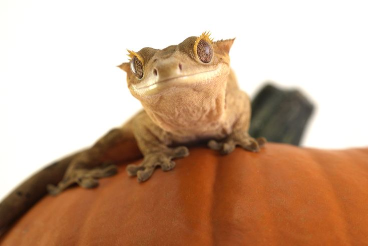 Great site with lots of information   http://www.moonvalleyreptiles.com/crested-geckos/care/crested-gecko-supplies