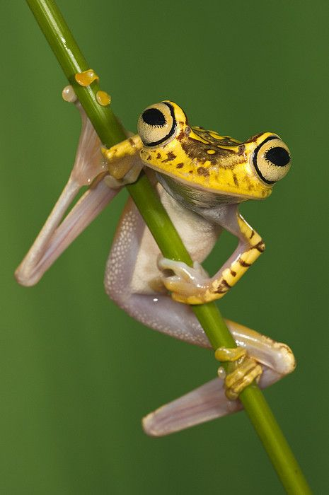 Chachi Tree Frog Hypsiboas Picturatus by Pete Oxford