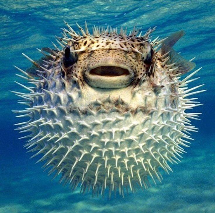 Puffer Fish Deadly Animals Animals Ocean Animals