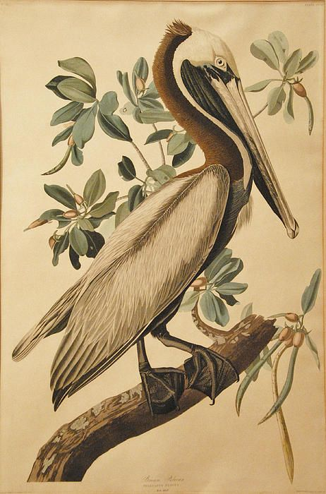 Brown Pelican  John James Audubon
