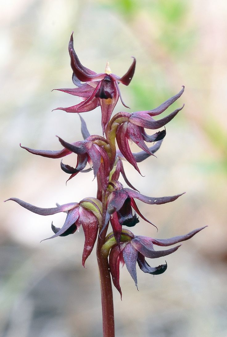 Sharp Midge Orchid: Corunastylis despectans