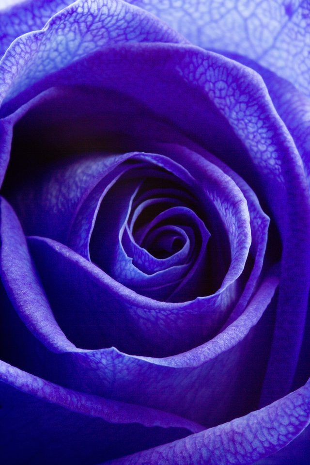 """What Do Blue Roses Symbolize?              According to """"Rose Color Meanings"""" (see References), blue roses symbolize """"mystery or something desired but unattainable."""" An individual experiencing unrequited love could present a blue rose to his or her object of affection."""