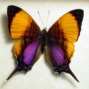 Real Beautiful Butterflies | Details about STUNNING PURPLE ORANGE MARPESIA PERU REAL BUTTERFLY 300