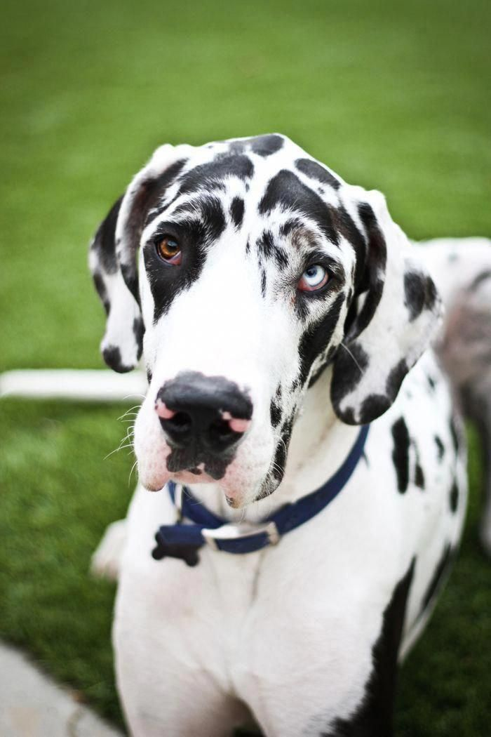 Find Out More On The Protective Great Dane Puppies