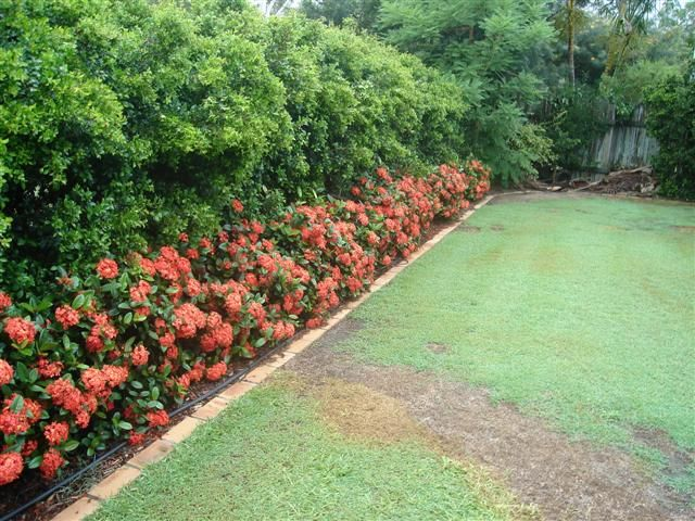ixora pink malay/ orange for option 1 replacement for agapanthus