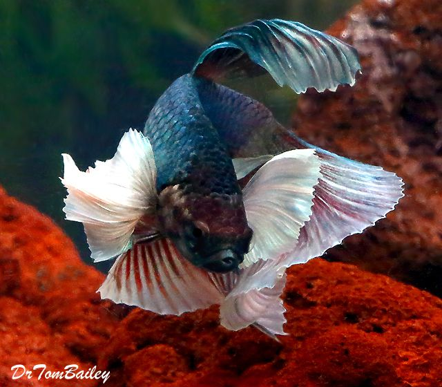 17 best images about guppy aquarium on pinterest for Black betta fish for sale