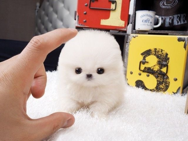 teacup pomeranian puppies adoption best 25 free puppies for adoption ideas on pinterest 8516
