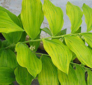 Polygonatum x hybridum Gold Leaf Form