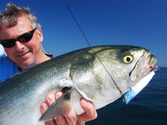10 best images about bluefish fishing on pinterest for Virginia game and fish