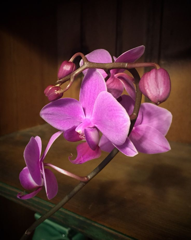 My orchid blooming for the second time. I had 9 buds. The 4th bud opened today. #orchid #flowers #photography4u