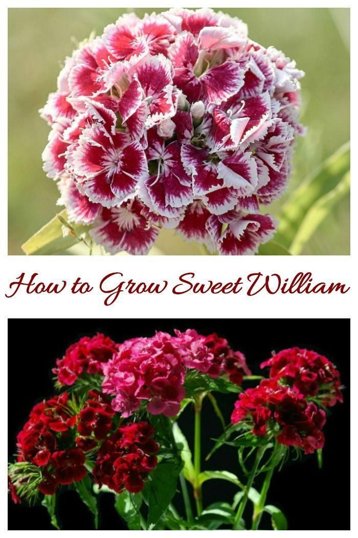 Dianthus Barbatus Perennial Mounding And Container Plant How To Grow Sweet William Flowers Dianthus Barbatus Flower Garden Design