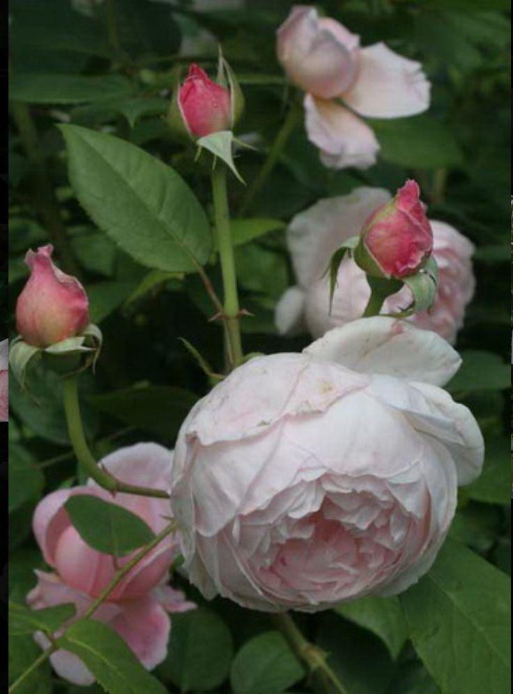 St Cecilia rose