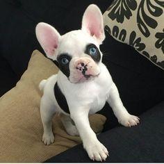 baby blue eyed french bulldog