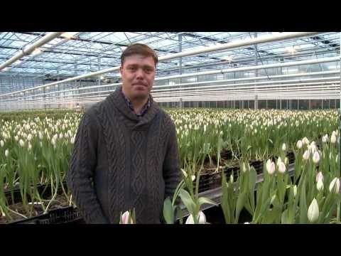 Työtä sadoille - Jali Murto kertoo, miten tulppaanituotanto työllistää Huiskulassa -video