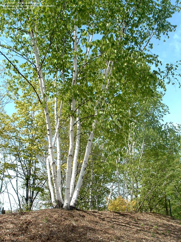 Full Size Picture Of Paper Birch American White Birch
