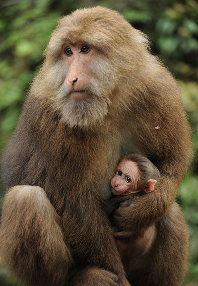 Tibetan Macaque, also known as Mt Emei Monkeys