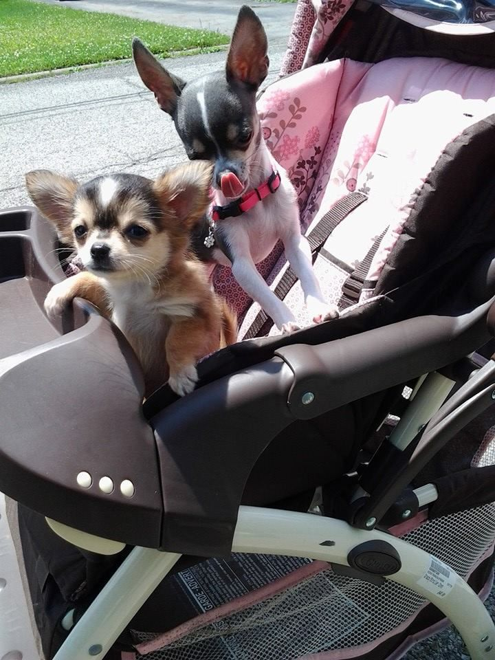 25 Best Ideas About Dog Stroller On Pinterest Chihuahua