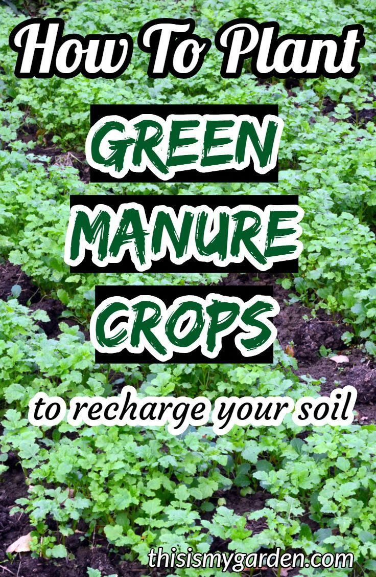 How to plant a Green Manure Crop to recharge your garden's