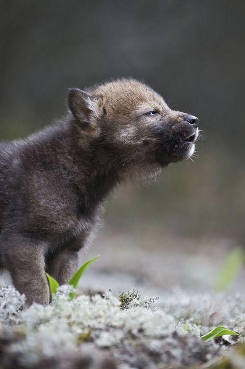 Wolf Puppy by © Sergey Gorshkov