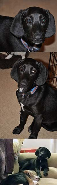 Labbe dog for Adoption in Chantilly, VA. ADN-542262 on PuppyFinder.com Gender: Female. Age: Young