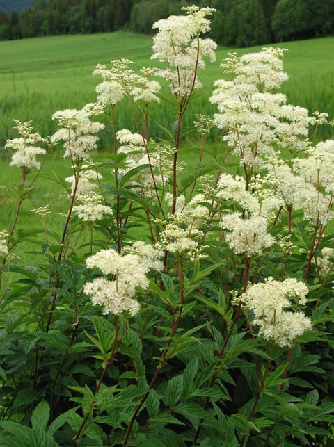 One of many that grows along the creek :) You can make a sweet limonade from the flowers. Filipendula ulmaria 'Meadowsweet'