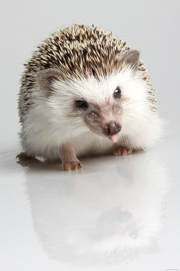 Hedgehog :)