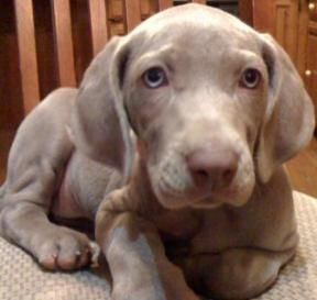 17 best images about weimaraner puppies on pinterest. Black Bedroom Furniture Sets. Home Design Ideas