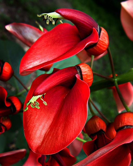 Flor Nacional de Argentina: El Ceibo