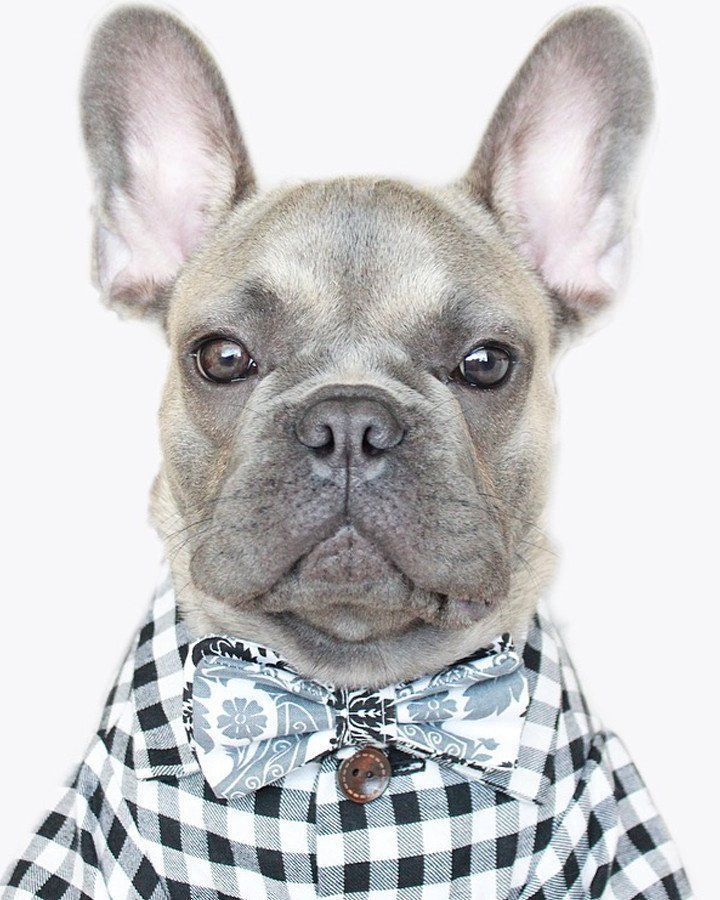 You, your gingham, and that favorite new coffee shop you found on Instagram. Designed in MN, made in the USA. Don't let your French Bulldog Puppy be last to the party (office party, that is). #Frenchbulldog #Puppies