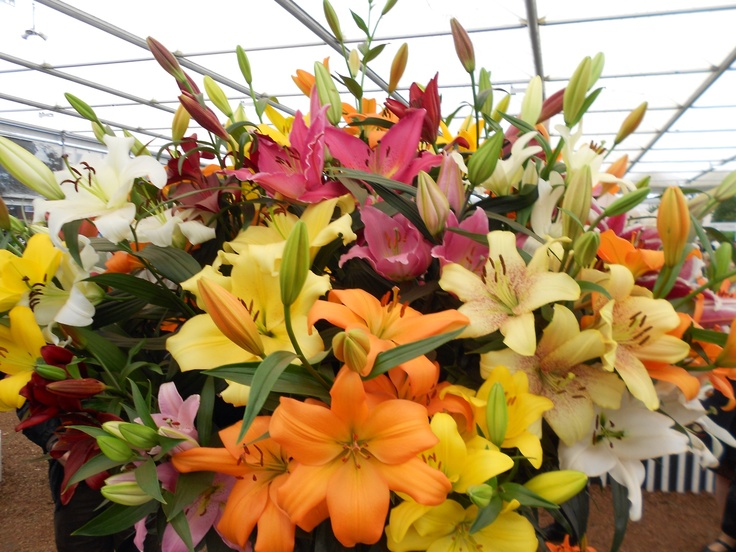 Gorgeous Lilies at Chelsea Flower Show 2013.