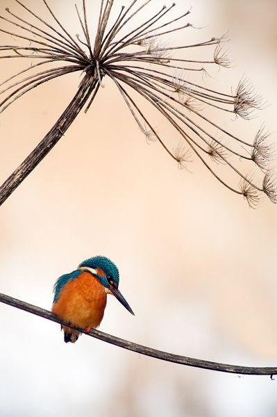 Vogel Foto Alcedo Atthis IJsvogel Common Kingfisher