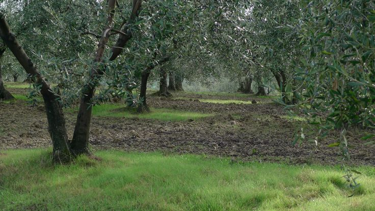 "The olive trees that produce our ""green gold"" extravergine olive oil. Pure Tuscany. Taste it from www.poggioulivi.com"
