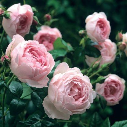 Scepter'd Isle - David Austin Roses