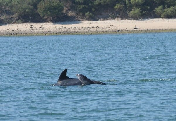 In 2016 there were two births of wild dolphins in Setúbal