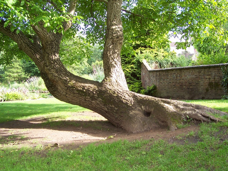 Beautiful old tree in the gardens, Bewdley. UK.