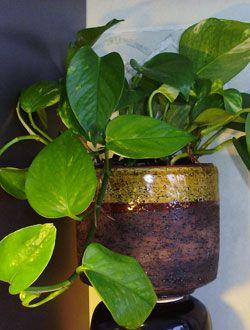 Epipremnum pinnatum  Absorbs benzene and formaldehyde.