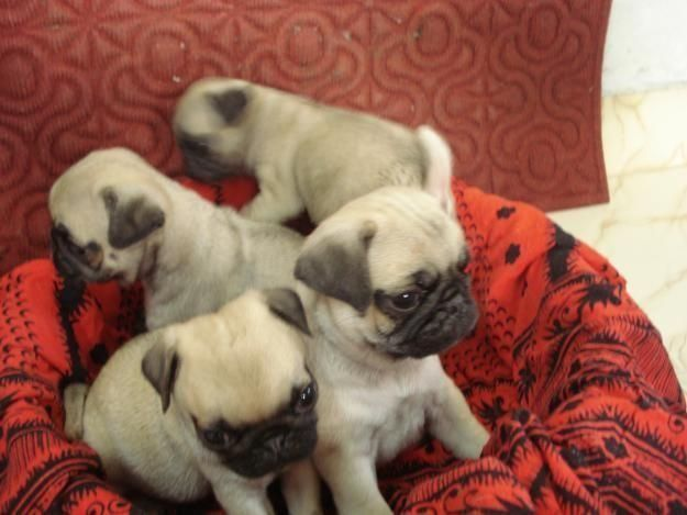Champion Bloodlines Pug Puppies For Adoption