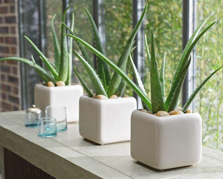 https://i.pinimg.com/736x/23/72/fa/2372fa556b804bd223b5fa8dbac3b38c--indoor-plants-aloe-vera-indoor-plant.jpg